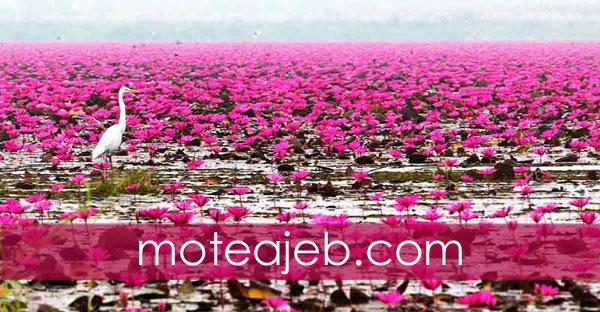 Beautiful views of Lake lotus red - منظره زیبا از دریاچه نیلوفر های قرمز