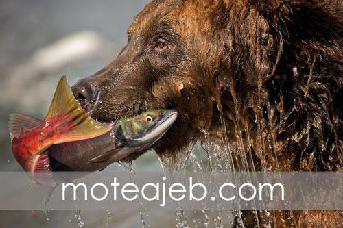 ماهی شکار شده توسط خرس