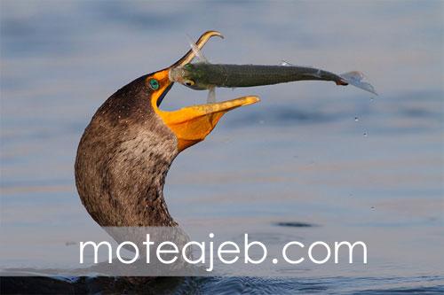 Odd pictures hunting birds in water 4 - عکس های عجیب شکار پرندگان در آب