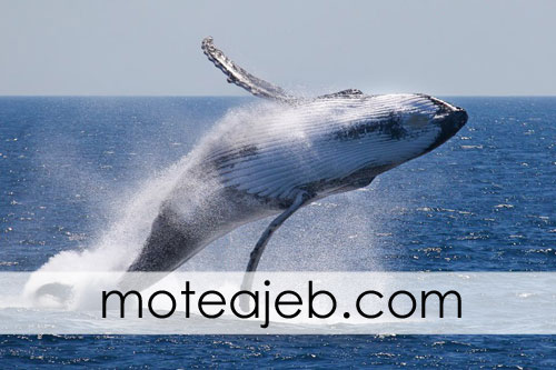 why are whales leap out of the water - چرا نهنگ ها به بیرون آب جهش می کنند؟