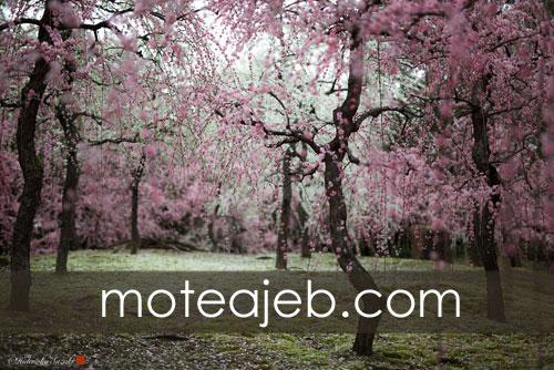 Beautiful nature Spring in Japan 1 - طبیعت زیبا بهار در کشور ژاپن
