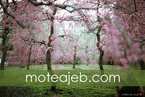 Beautiful nature Spring in Japan 3 - طبیعت زیبا بهار در کشور ژاپن