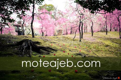 طبیعت زیبا بهار در کشور ژاپن