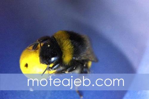 زنبور های که فوتبالیست هستند