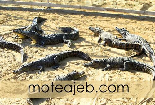 Crocodile park in Qeshm Island 3 - پارک کروکودیل ها در جزیره قشم