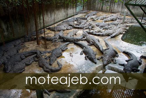 Crocodile park in Qeshm Island - پارک کروکودیل ها در جزیره قشم