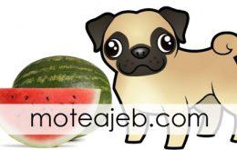 هندوانه خوردن عجیب یک سگ + فیلم
