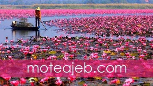 منظره زیبا از دریاچه نیلوفر های قرمز