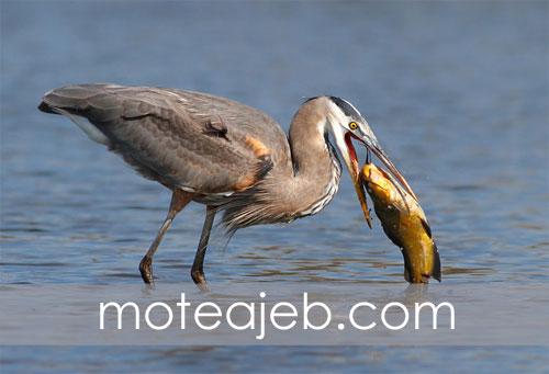 عکس های عجیب شکار پرندگان در آب