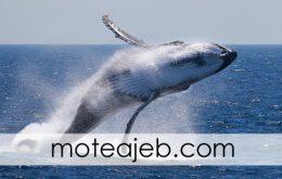 چرا نهنگ ها به بیرون آب جهش می کنند؟