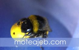 زنبور های عسل فوتبالیست