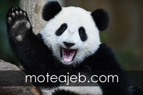 Why black and white panda 1 - چرا پاندا سفید و سیاه است؟