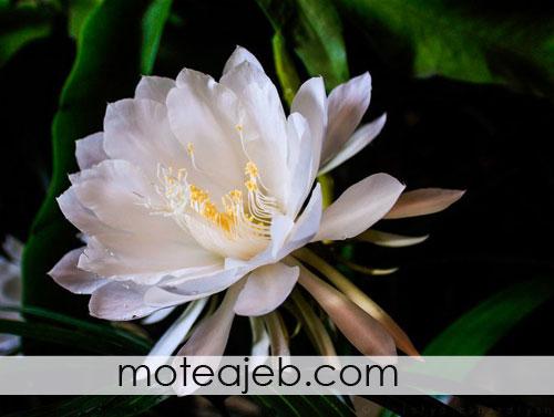 گلی عجیب که یک شب از سال شکوفا می شود